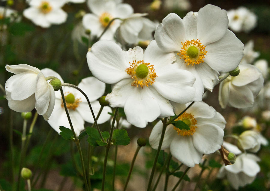 Anemonae Cluster 5 Photograph