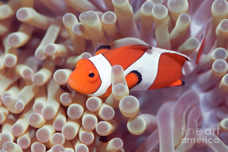 Anemone And Clown-fish Photograph  - Anemone And Clown-fish Fine Art Print