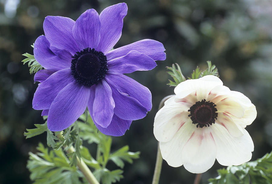 anemone coronaria flowers photograph by archie young. Black Bedroom Furniture Sets. Home Design Ideas