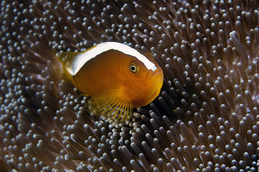 Anemonefish In Sea Anemone Photograph by Matthew Oldfield