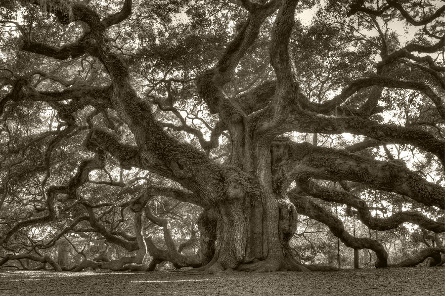 Angel Oak Live Oak Tree Photograph