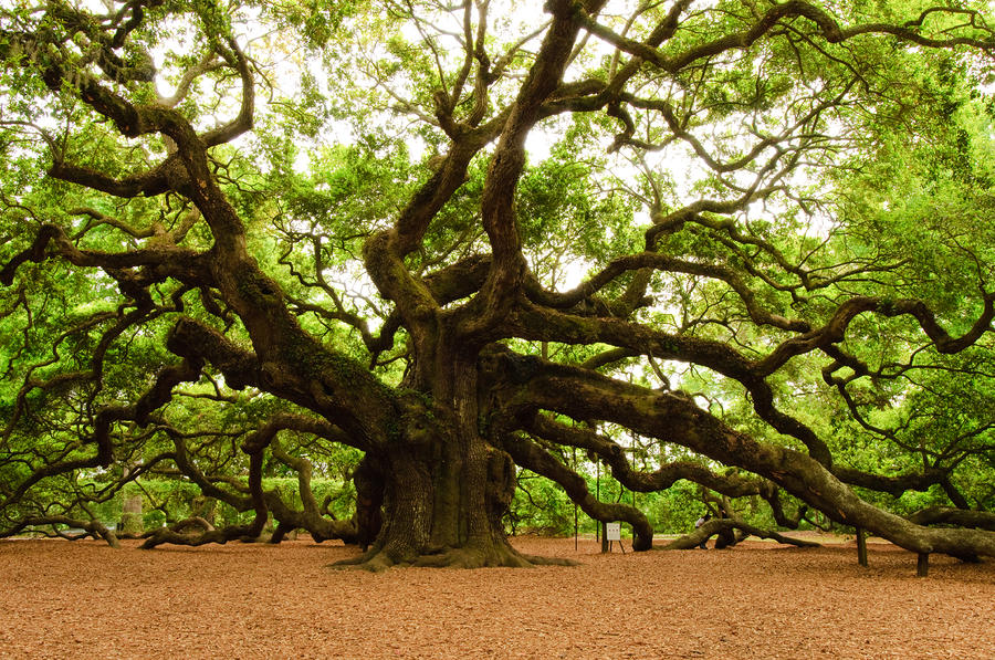 Angel Oak Tree 2009 Photograph  - Angel Oak Tree 2009 Fine Art Print