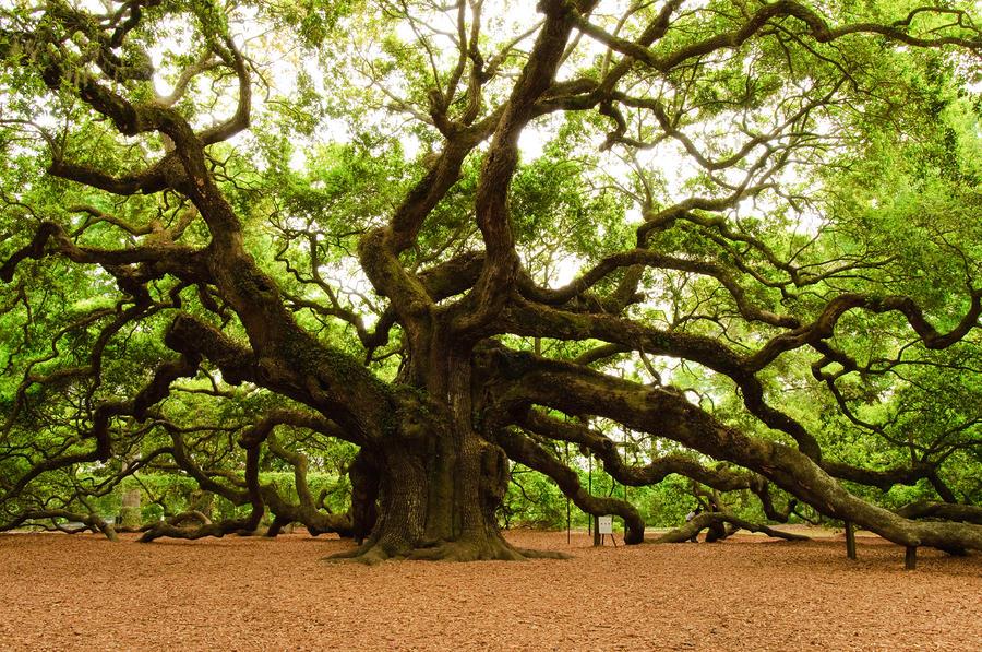 Angel Oak Tree 2009 Photograph - Angel Oak Tree 2009 Fine Art Print
