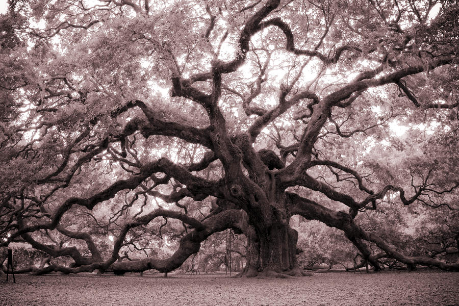 Angel Oak Tree Photograph  - Angel Oak Tree Fine Art Print