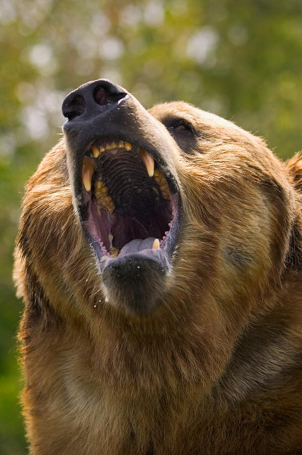 Angry Grizzly Bear Wallpaper | www.imgkid.com - The Image ...