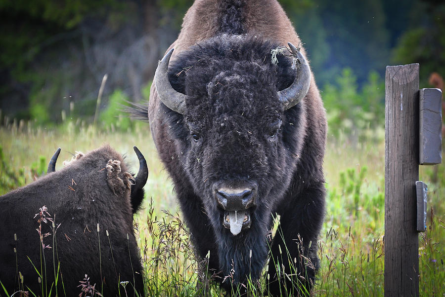 Angry Bison Photograph