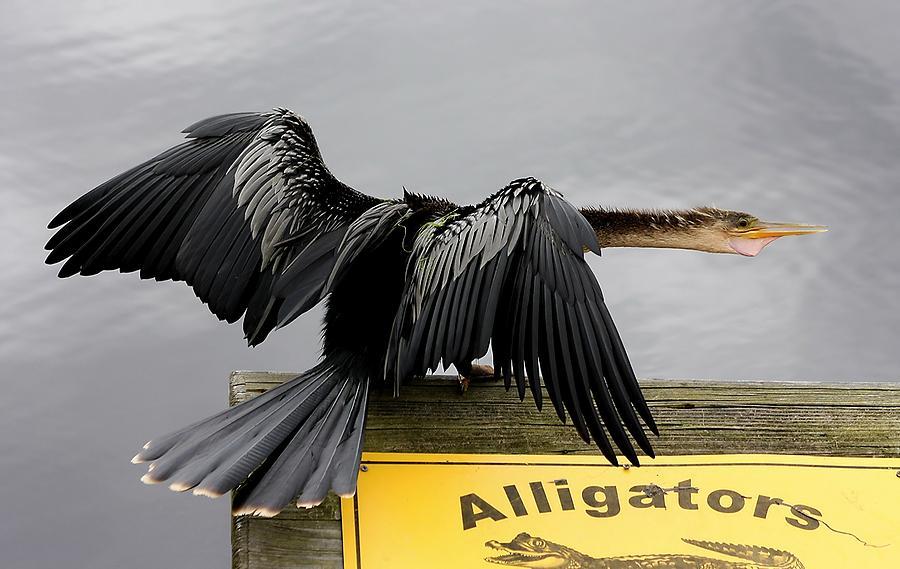 Anhinga Photograph - Anhinga Looking For Alligators by Paulette Thomas