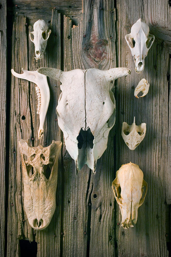Animal Skulls Photograph  - Animal Skulls Fine Art Print