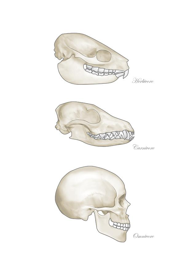 Animal Teeth Comparison, Artwork Photograph