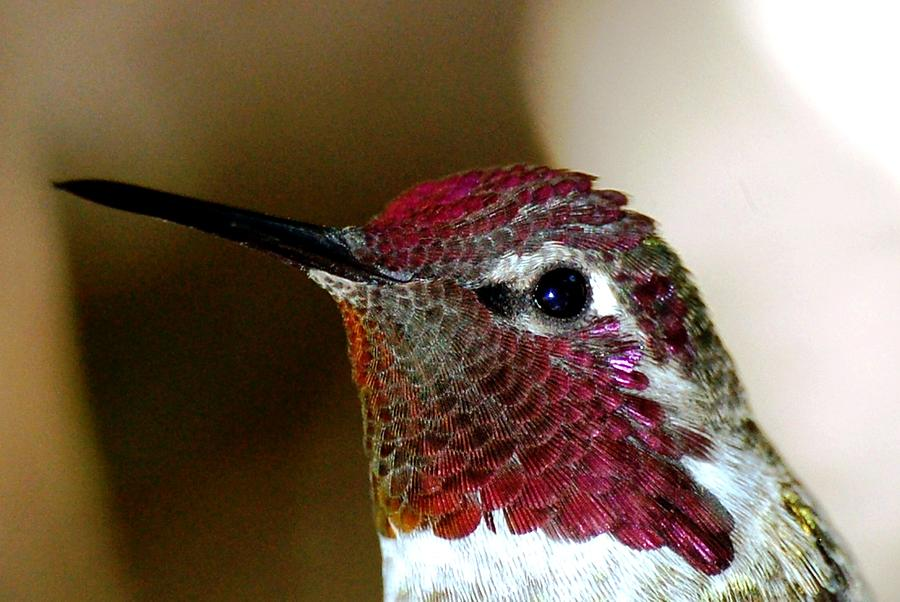 Annas Hummingbird Head Photograph  - Annas Hummingbird Head Fine Art Print