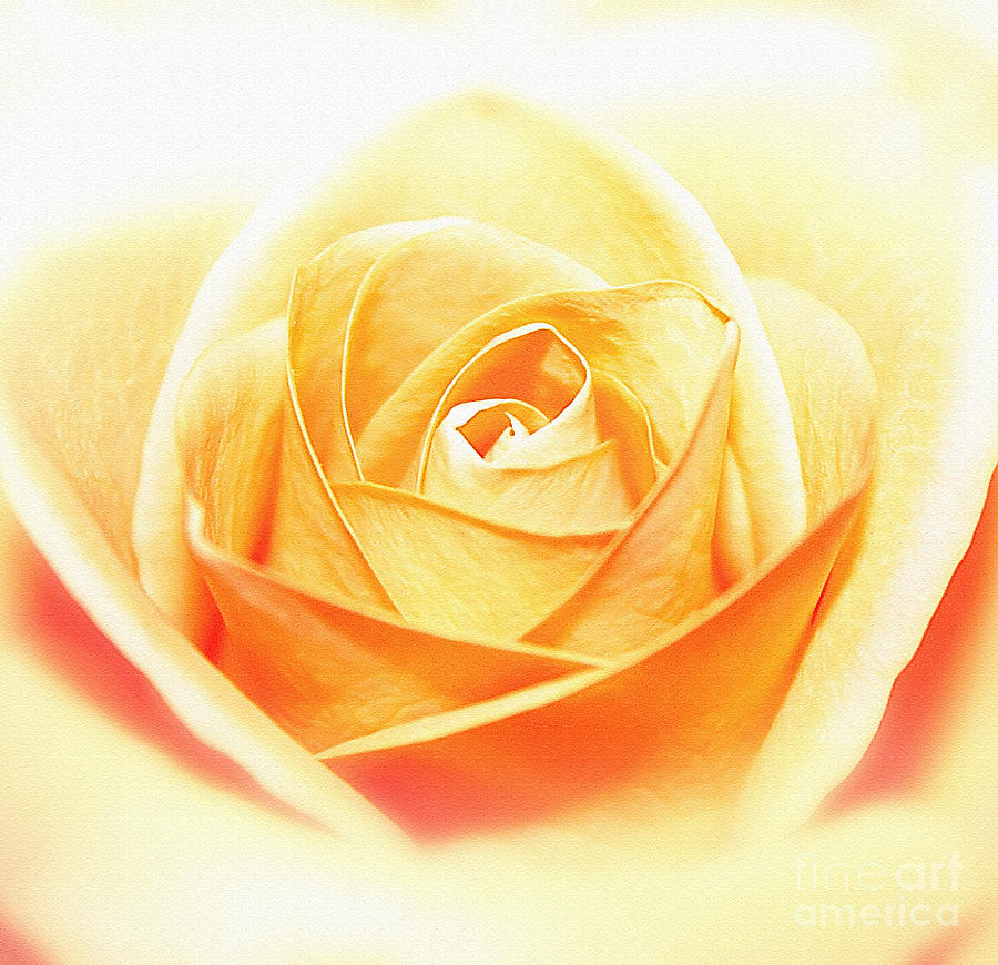 Anniversary Rose Photograph