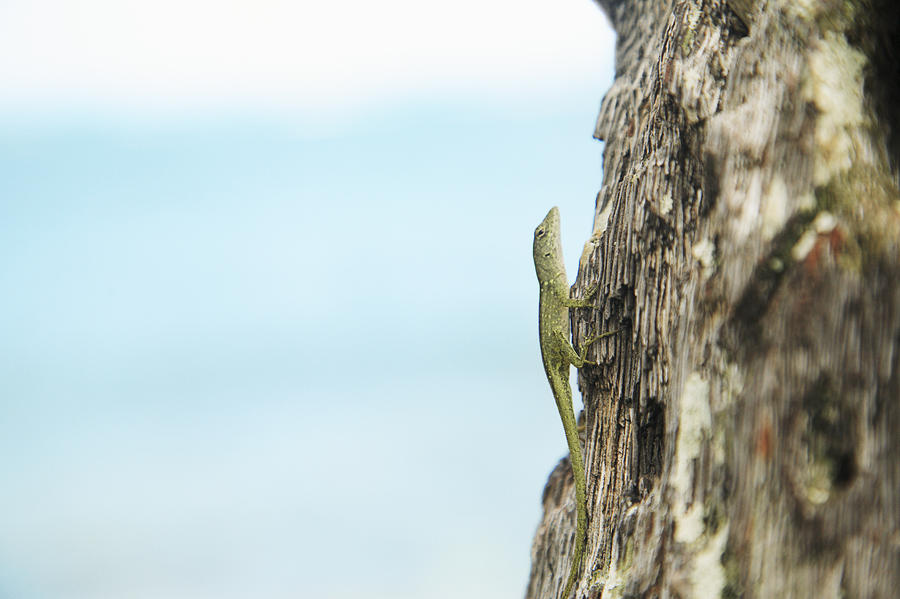 Anole Lizard Photograph