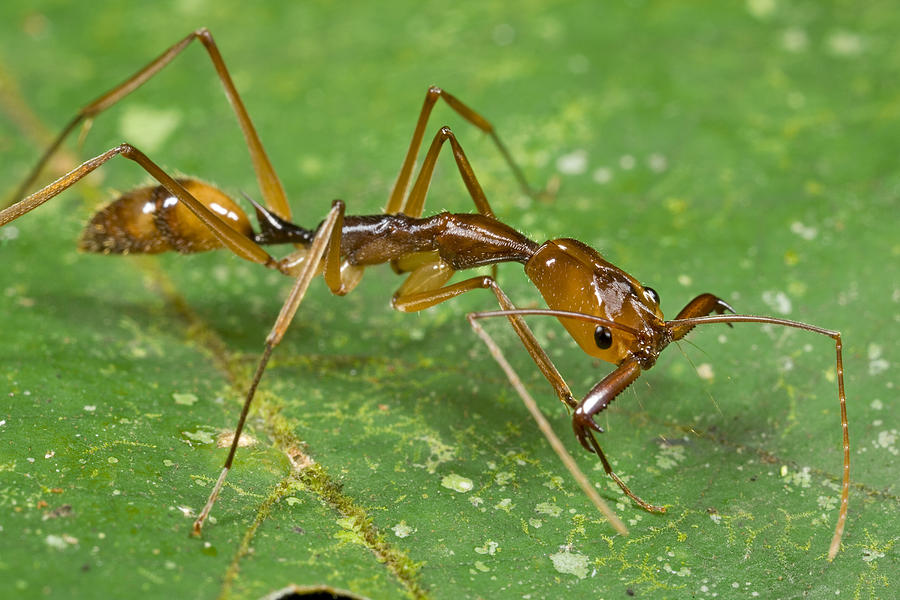 Ant Showing Large Mandibles Guyana Photograph