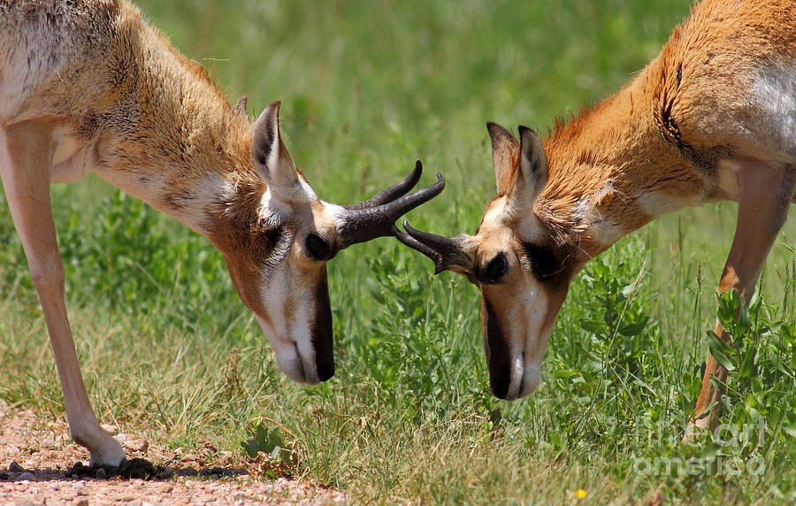 Antelope Play Photograph  - Antelope Play Fine Art Print