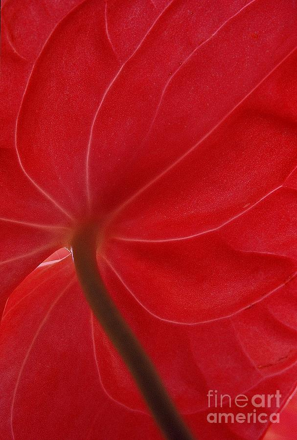 Anthurium Photograph  - Anthurium Fine Art Print