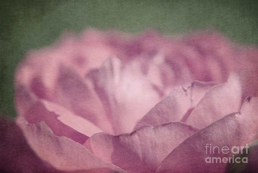 Antique Pink Photograph  - Antique Pink Fine Art Print
