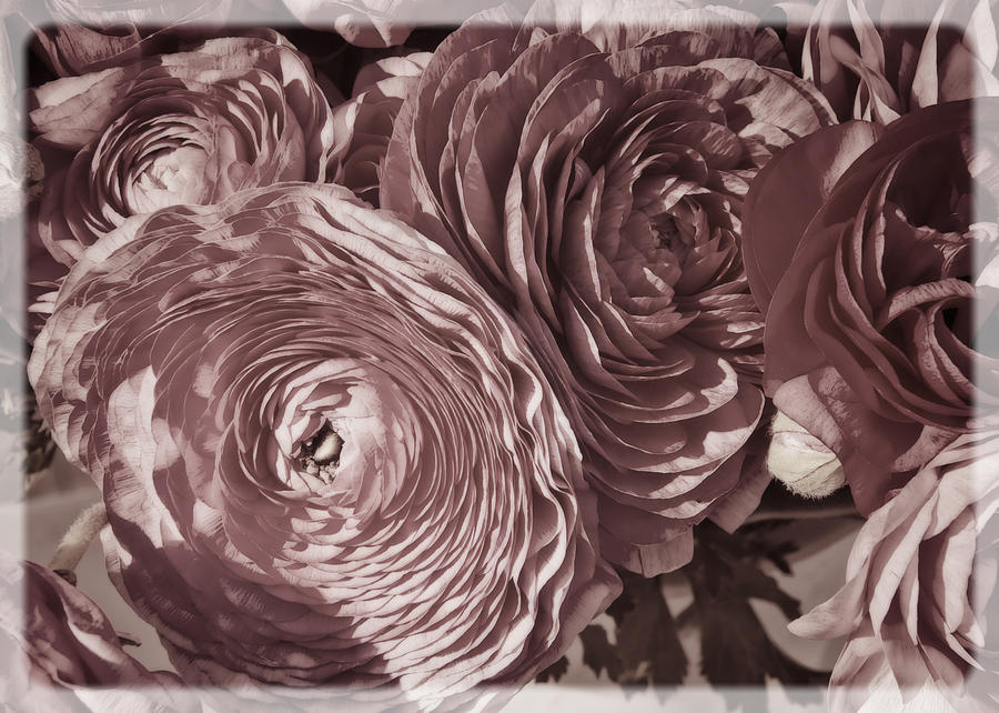 Antique Pink Ranunculus Photograph  - Antique Pink Ranunculus Fine Art Print