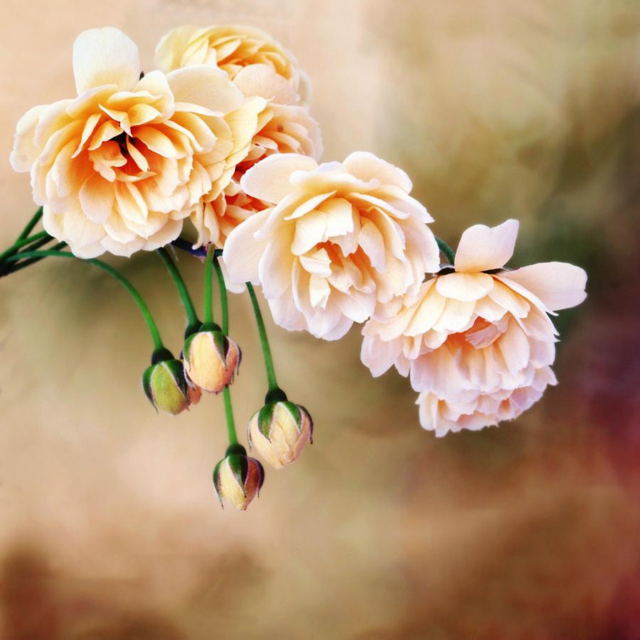 Antique Roses Photograph