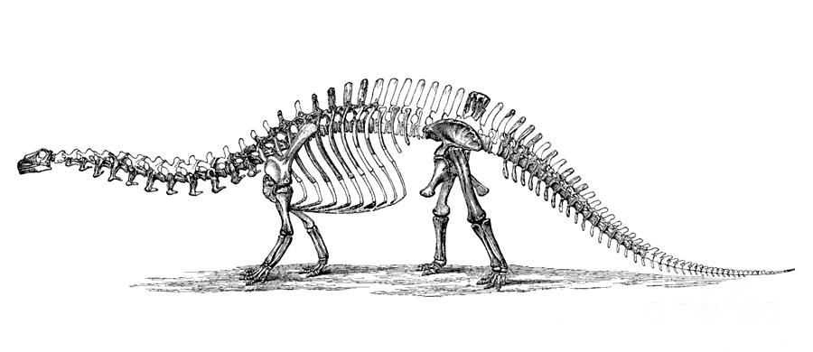 Apatosaurus Excelsus,  Aka Brontosaurus Photograph