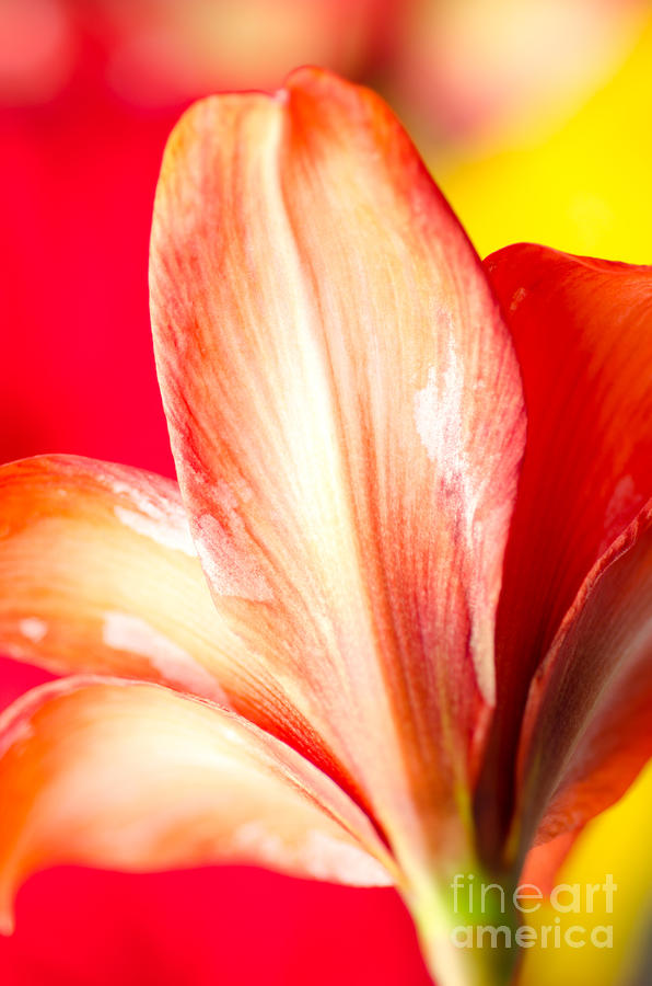 Apple Amaryllis Red Apple Amaryllis On A Pink And Yellow Background Photograph  - Apple Amaryllis Red Apple Amaryllis On A Pink And Yellow Background Fine Art Print