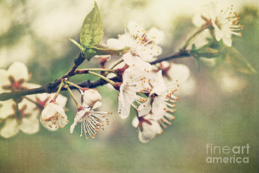Apple Blossom Branch In Early Spring Photograph  - Apple Blossom Branch In Early Spring Fine Art Print