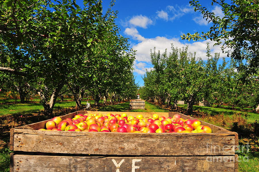 Apple Picking Season Photograph  - Apple Picking Season Fine Art Print