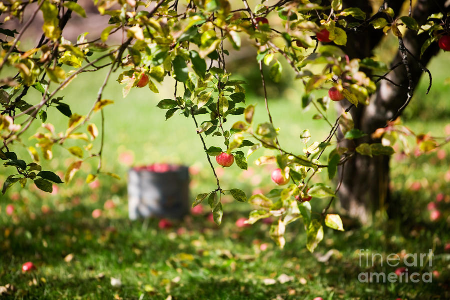 Apple Tree Photograph