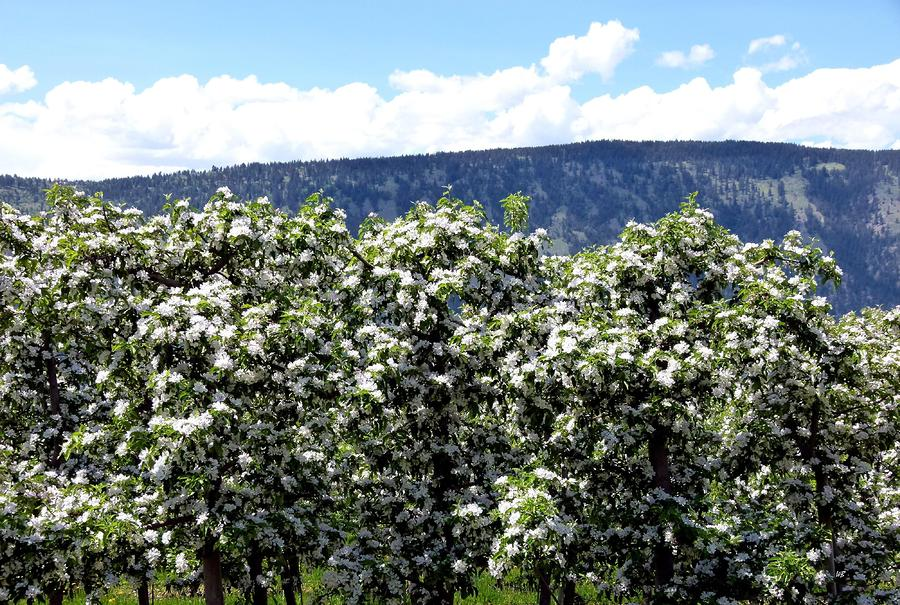 Apple Trees In Bloom     Photograph