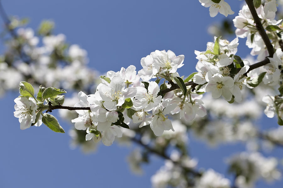 Apple Trees In Full Bloom Photograph