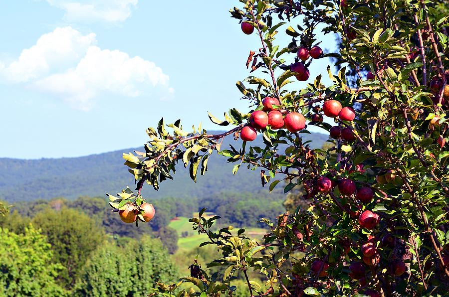 Apples Photograph - Apples On A Tree by Susan Leggett