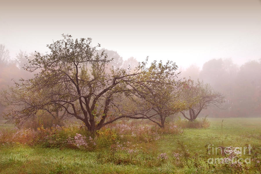 Apples Trees In The Mist Photograph