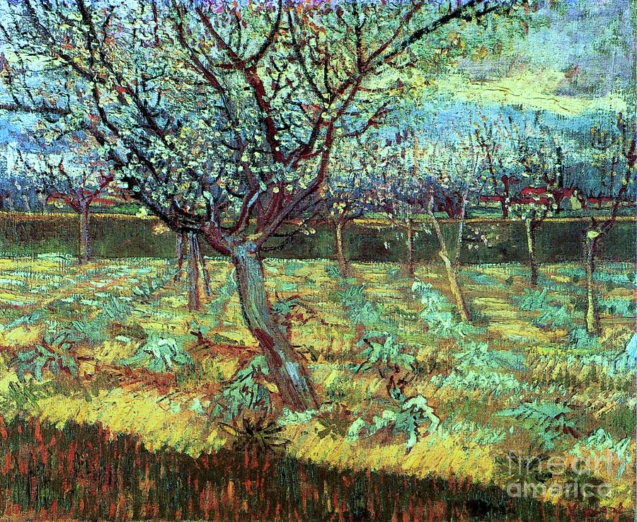 Apricot Trees In Blossom Painting