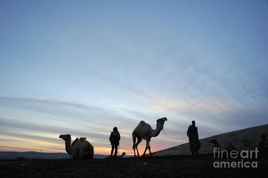 Arabian Camel At Sunset Photograph