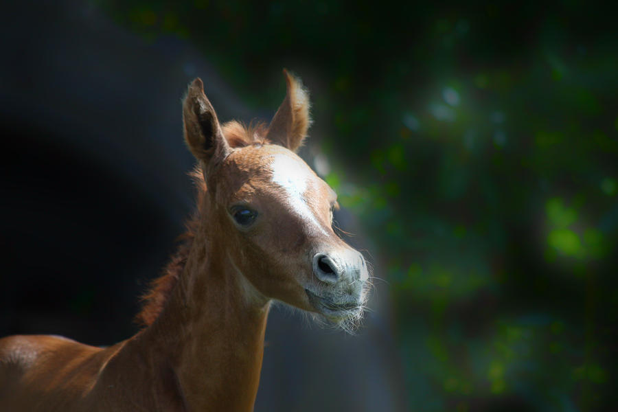 Arabian Horse Foal Photograph 
