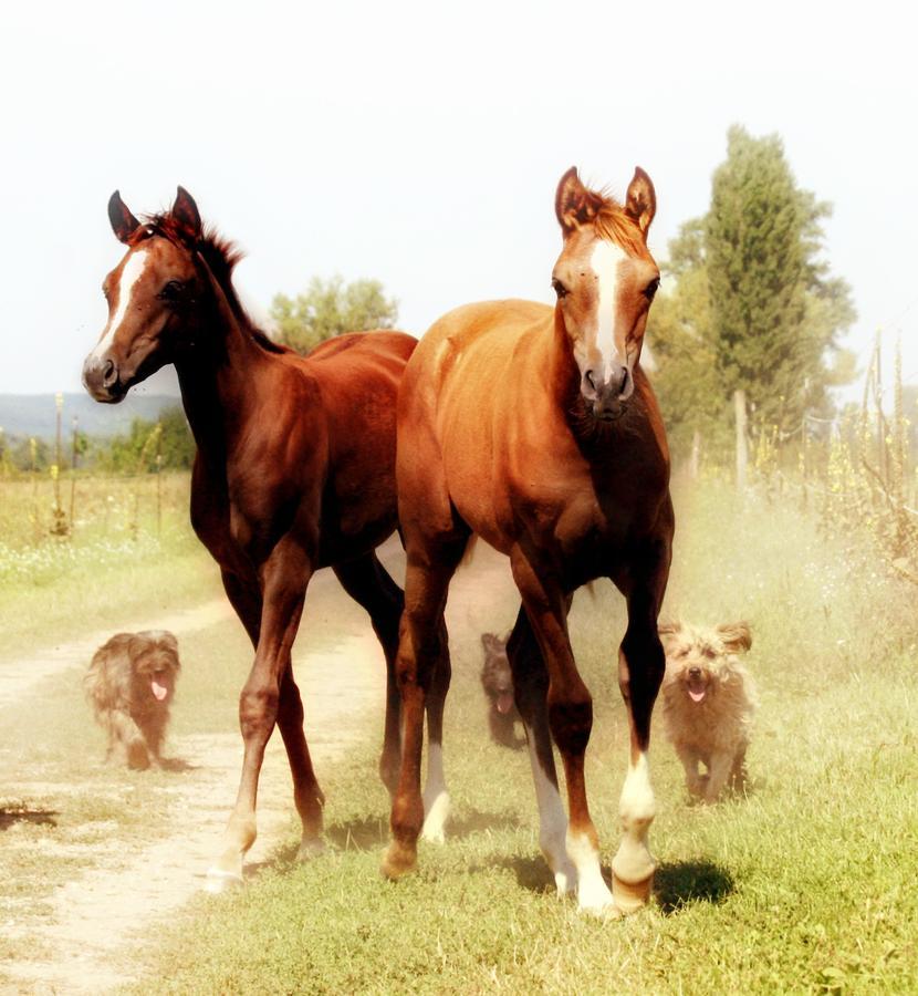 Arabian Horse Foals Photograph
