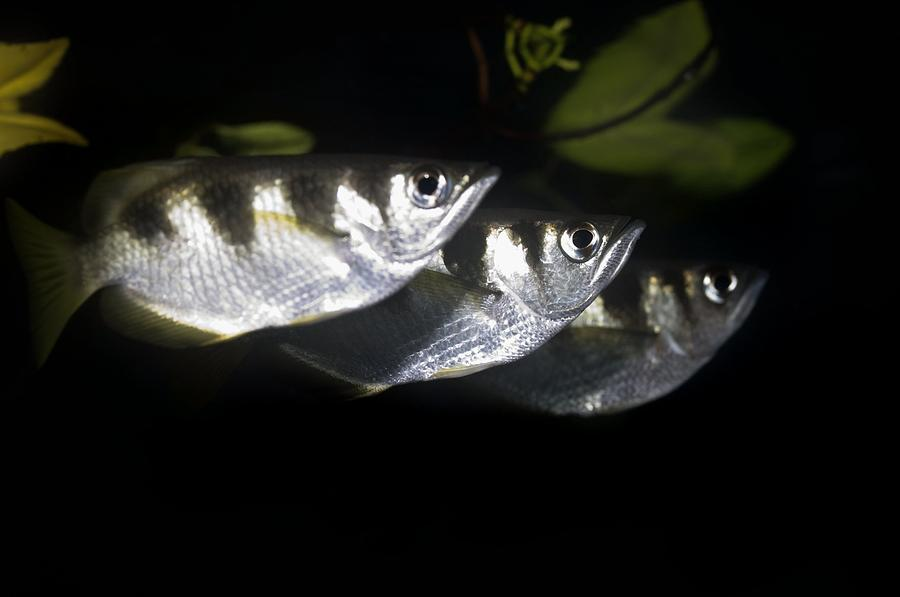 Archer Fish is a photograph by Georgette Douwma which was uploaded on ...