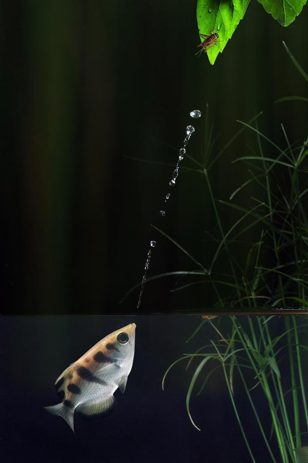 Archerfish Photograph