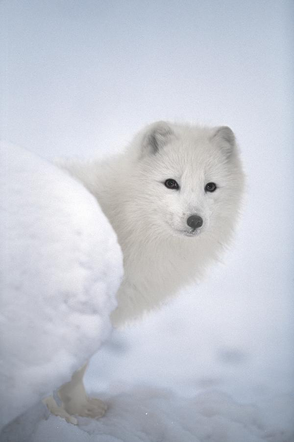 Arctic Fox Exploring Fresh Snow Alaska Photograph  - Arctic Fox Exploring Fresh Snow Alaska Fine Art Print