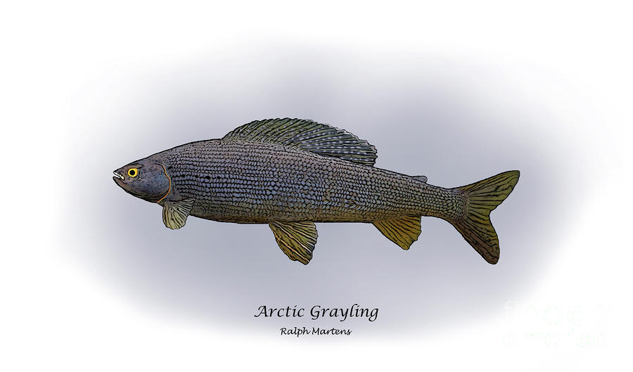 Arctic Grayling Painting