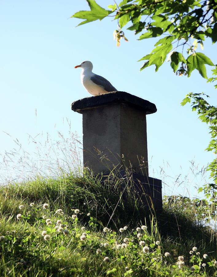 Arctic Tern Photograph