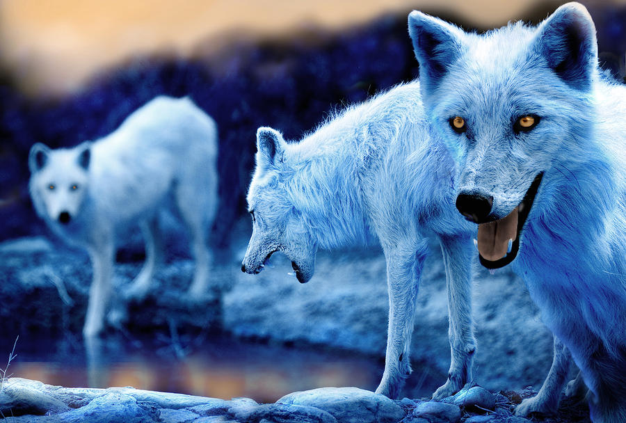 Arctic White Wolves Photograph