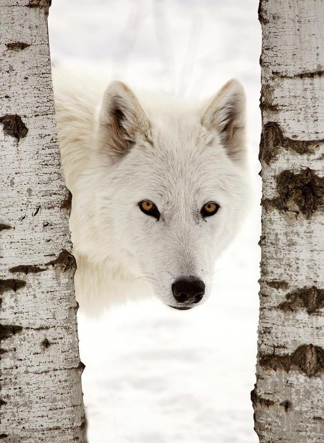 Arctic Wolf Seen Between Two Trees In Winter Digital Art