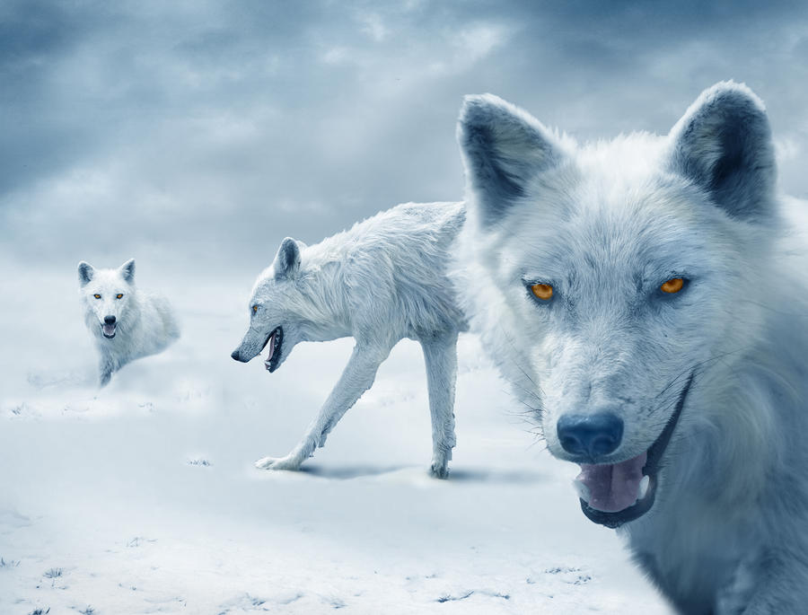 Arctic Wolves Photograph