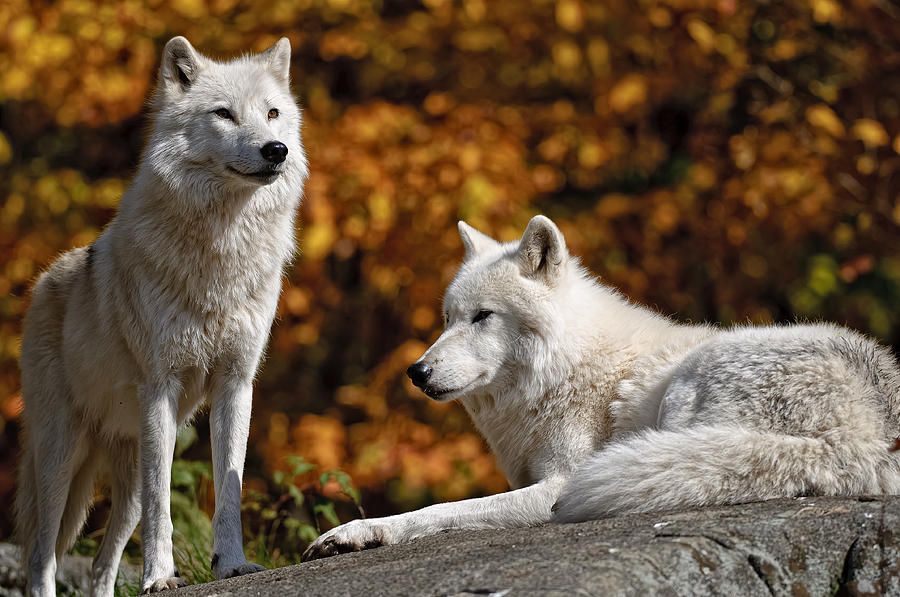 Arctic Wolves On Rocks Photograph
