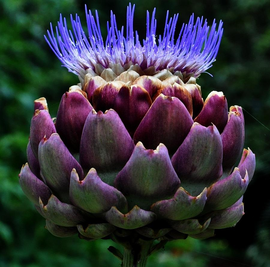 Artichoke Flower Photograph