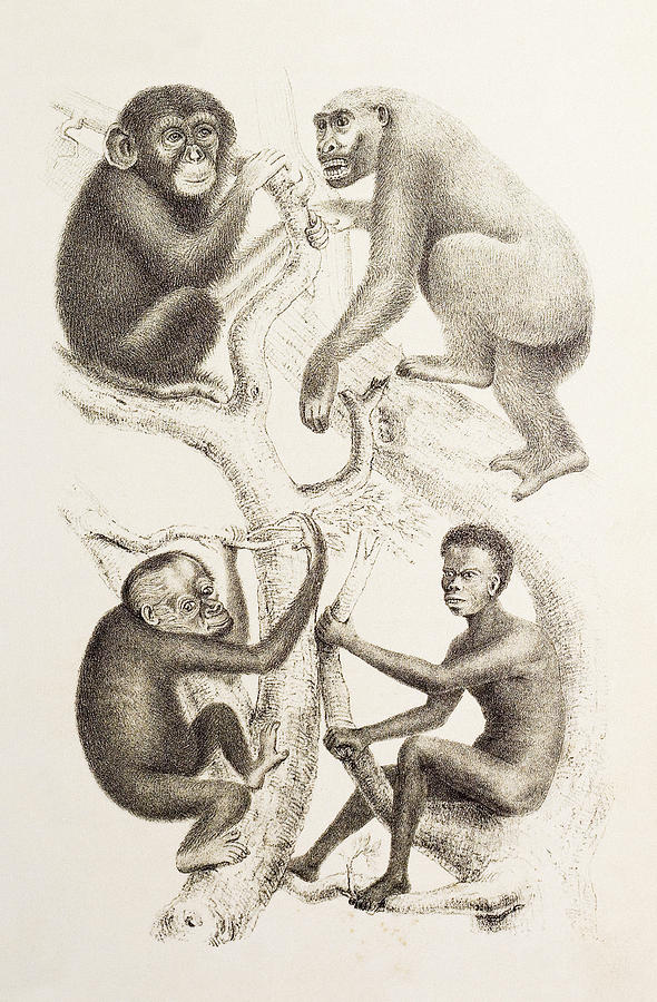 Artwork Of Four Apes, 1874 Photograph