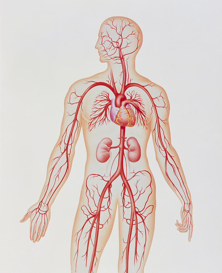 People Person Persons Photograph - Artwork Of Human Arterial System by John Bavosi