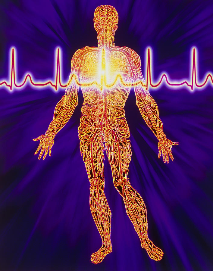 Artwork Of Human Venous System And Ecg Heart Trace Photograph