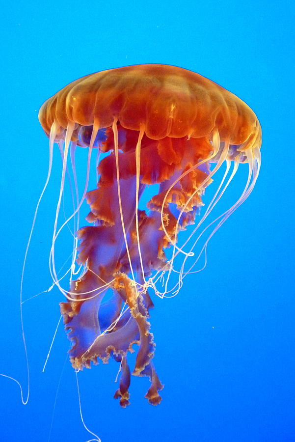 By jellyfish portuguese man of war newswarpedcom for Fish in jellyfish