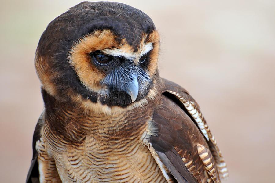 Asian Wood Owl 80
